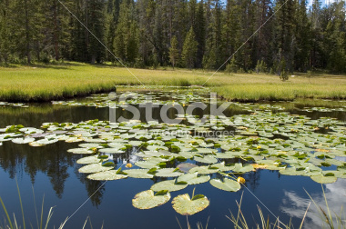 Lillypads on a Lake Stock Image