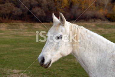 White Horse Posing for the Camera