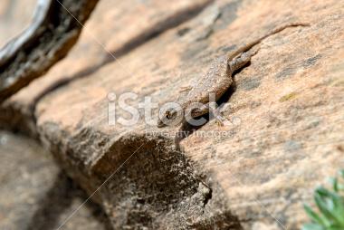 Closeup Lizard Images in Zion National Park