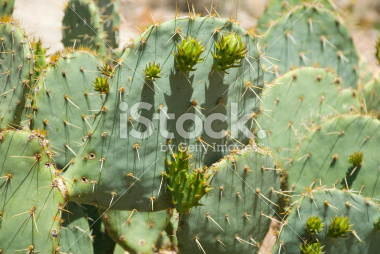 Prickly Pear Cactus Pictures